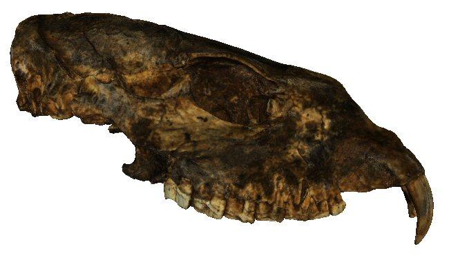Parital cranium