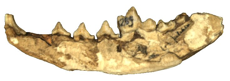 Partial left mandible