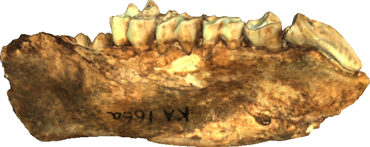 Partial mandible (right)