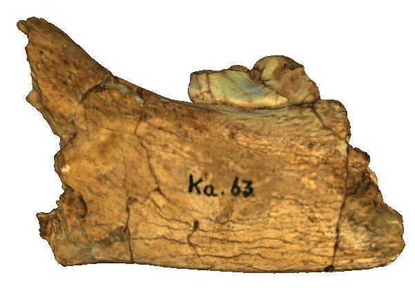 Partial mandible with m1
