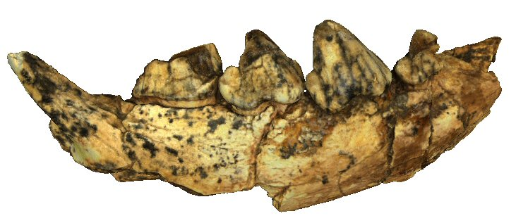 Right mandible with p2-m1