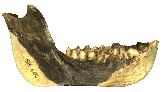 Partial right mandible