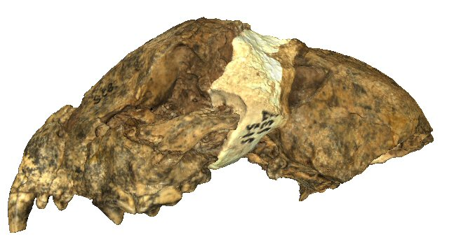 Partial cranium and left mandible