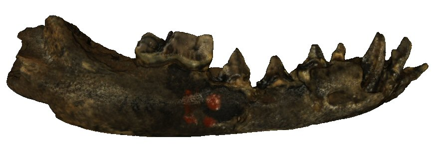 Mandible (Right and Left); This is the type, not the known Minaars specimen