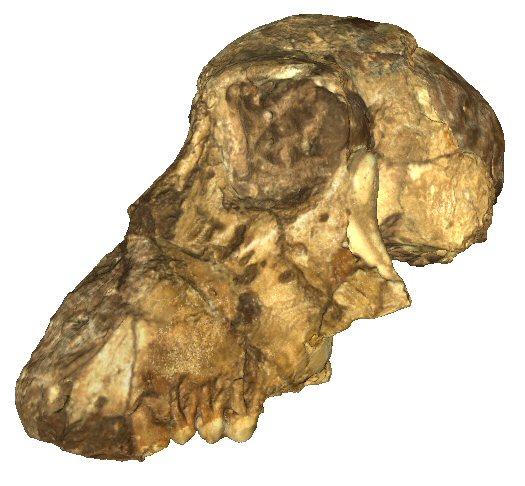 Partial cranium