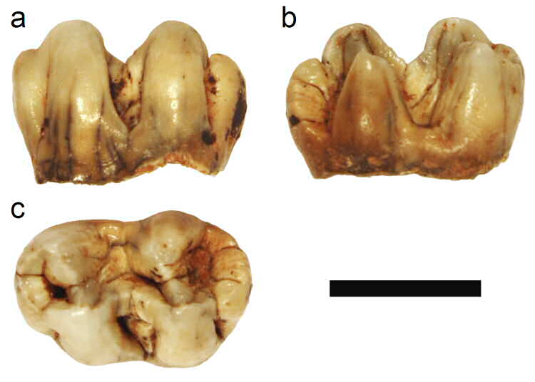 The HLP 1600 gelada (Theropithecus sp.) left mandibular first molar from Hoogland.