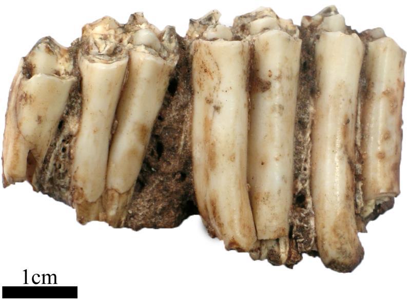 A partial maxilla of the extinct Bond's gazelle Antidorcas bondi