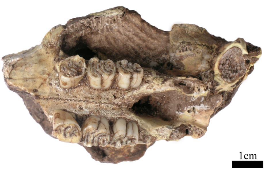 A partial cranium of a porcupine, Hystrix africaeaustralis
